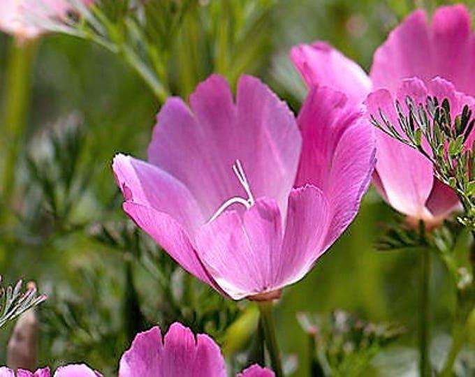 100 PURPLE Gleam CALIFORNIA POPPY Eschscholzia Californica Flower Seeds