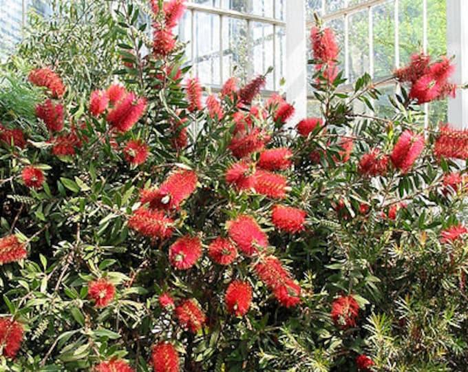 40 CRIMSON BOTTLEBRUSH Callistemon Citrinus Flowering Shrub Bush Small Tree Seeds