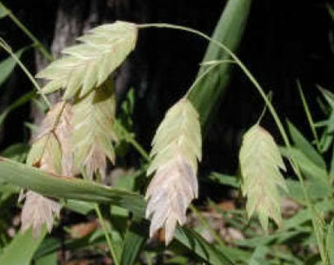 100 NORTHERN SEA OATS Grass Inland Chasmanthium Seeds