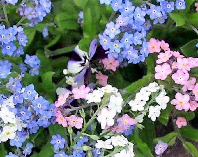 100 Mixed FORGET ME NOT Pink Blue White Mix Myosotis Flower Seeds *Flat Shipping