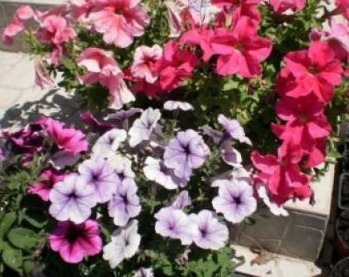 250 Mixed Colors DWARF PETUNIA Flower Seeds