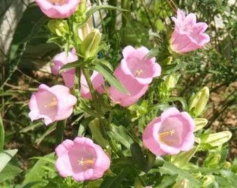 200 Rose Pink CANTERBURY BELLS - CAMPANULA Medium Flower Seeds *Flat Shipping