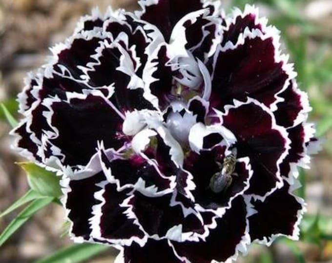 30 Black & White CHIANTI DIANTHUS Chinensis China Pink Flower Seeds *Flat Shipping