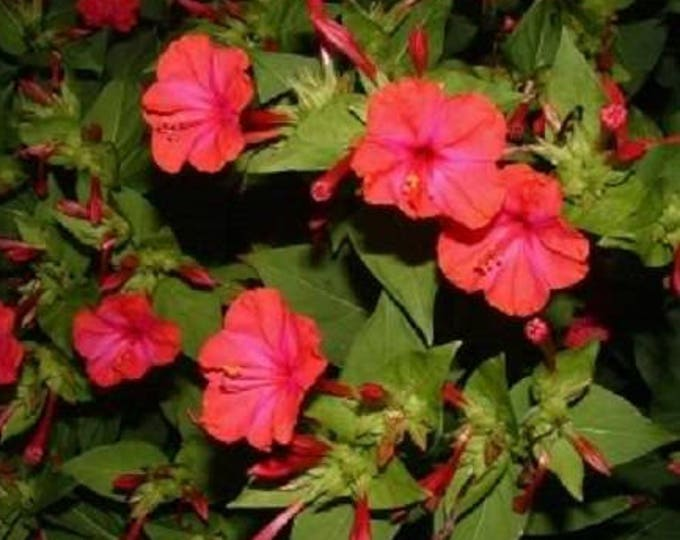 25 RED FOUR O'CLOCK Marvel of Peru Mirabilis Jalapa Flower Seeds *Comb S/H