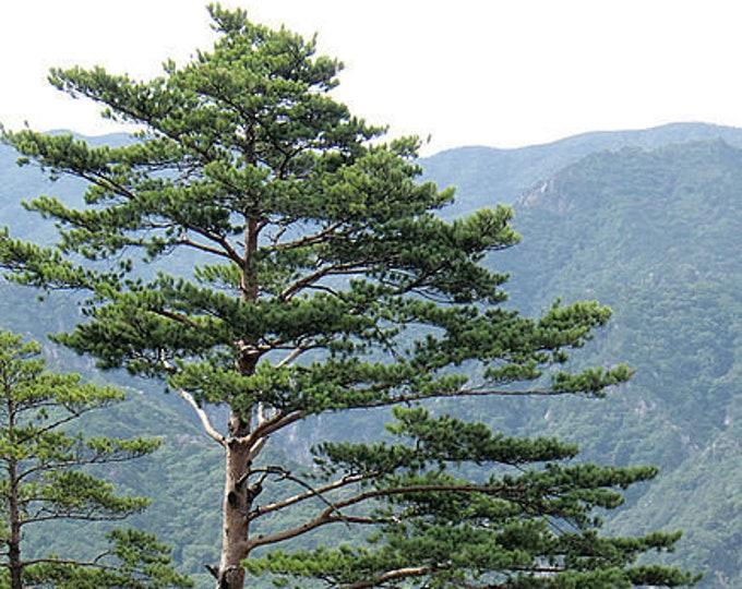 10 RED Japanese PINE TREE Korean Pinus Densiflora Evergreen Seeds *Flat Shipping