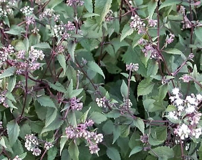 50 CHOCOLATE Joe PYE WEED Eupatorium Rugosum Flower Seeds