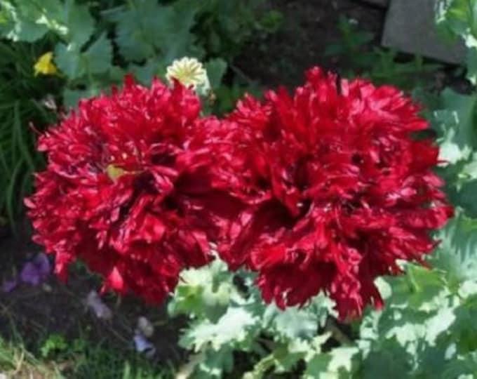 100 Giant Double RED PEONY POPPY Papaver Peoniflorum Flower Seeds