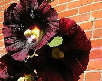 25 BURGUNDY RED HOLLYHOCK Alcea Rosea Flower Seeds Perennial *Comb S/H