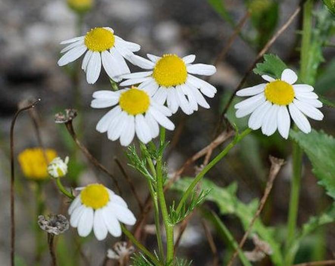 1000 GERMAN CHAMOMILE Matricaria Recutita Chamomilla Herb Flower Seeds
