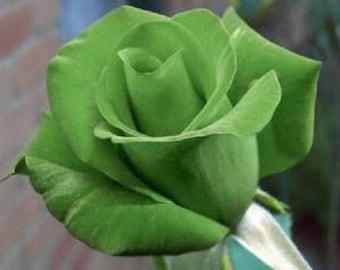 5 GREEN ROSE Rosa Bush Shrub Perennial Flower Seeds *Flat Shipping