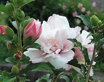 50 Light Pink Double ROSE Of SHARON HIBISCUS Syriacus Flower Tree Bush Seeds *Flat Shipping