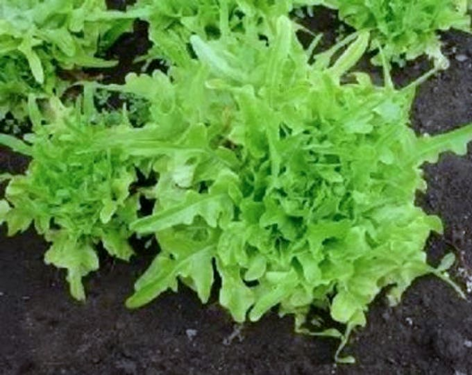 3000 OAK LEAF LETTUCE Lactuca Sativa Vegetable Seeds