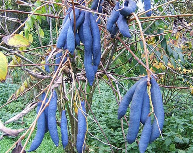 7 BLUE SAUSAGE FRUIT Edible & Ornamental Decaisnea Fargesii Tree Shrub Seeds