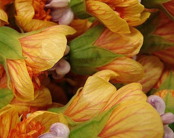 30 Mixed Colors FLOWERING MAPLE (Chinese Bell Flower) Abutilon Hybridum Shrub Bush Small Tree Seeds