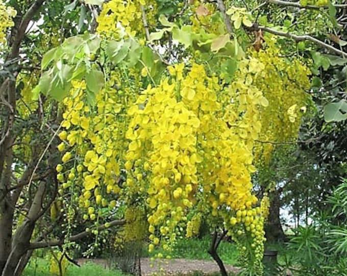 15 GOLDEN SHOWER TREE Gold Rush Yellow Cassia Fistula Flower Seeds *Comb S/H