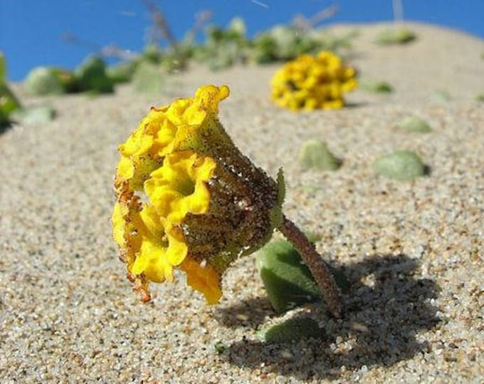 20 YELLOW SAND VERBENA Coastal Abronia Latifolia Arenaria Flower Seeds