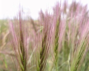 8 Oz Bulk Bottlebrush SQUIRRELTAIL RYE GRASS Elymus Elymoides Sitanion Hystrix Red Plume Squirrel Tail Ornamental Seeds 1/2 Pound Lb 8 Ounce