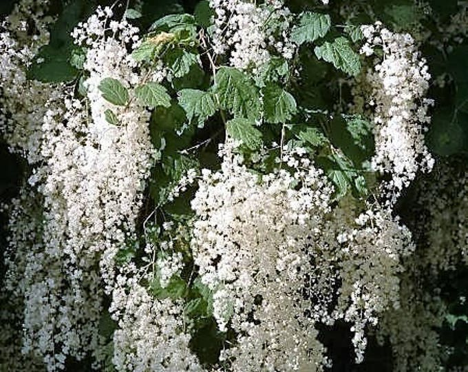 100 White OCEANSPRAY Shrub Creambush Mountain Spray Holodiscus Flower Seeds
