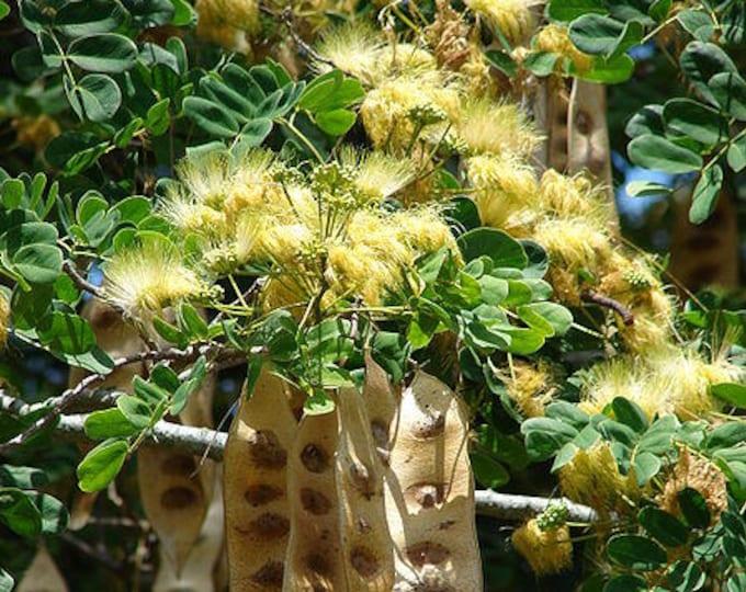 20 WOMAN'S TONGUE TREE White Mimosa Nectar Flower Albizia Lebbeck Legume Seeds