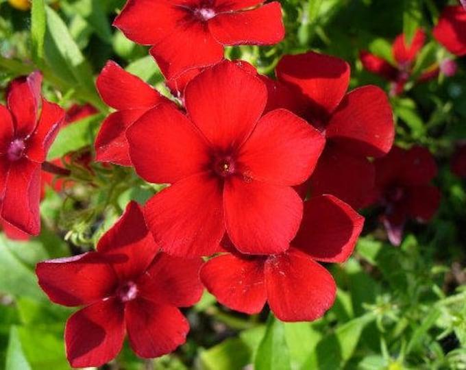 800 RED DRUMMOND PHLOX (Texas Pride) Phlox Drummondii Flower Seeds