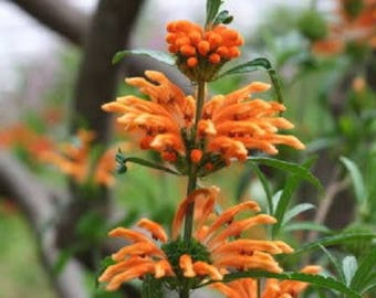25 KLIP DAGGA (Lions Ear / Lions Tail / Wild Klip Dagga) Leonotis Nepetifolia Flower Seeds