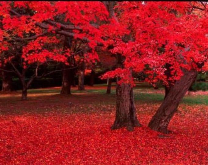 25 Scarlet CAROLINA RED MAPLE Tree Acer Rubrum Seeds