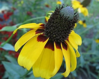 3000 CLASPING CONEFLOWER Rudbeckia Amplexicaulis Yellow Flower Seeds *Flat Shipping