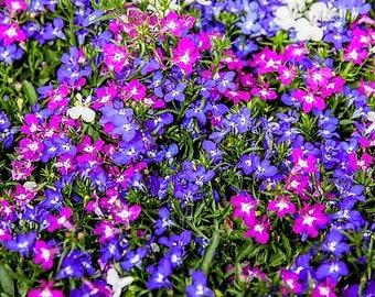 200 MIXED COLORS LOBELIA Regatta Lobelia Erinus Flower Seeds