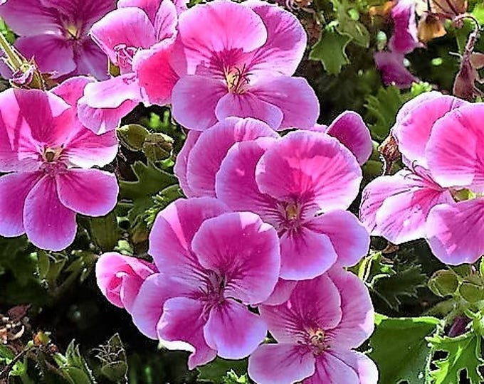 10 Pinto Rose BICOLOR GERANIUM Pink & White Pelargonium Flower Seeds