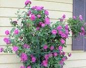 5 PURPLE CLIMBING ROSE Rosa Bush Vine Climber Fragrant Butterfly Flower Seeds