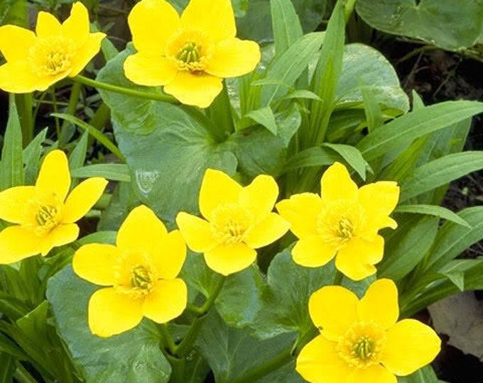 200 Yellow SWAMP MARIGOLD Bidens Aristosa Mutica Flower Seeds*Flat Shipping