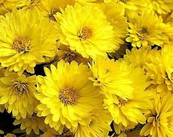 500 YELLOW CHRYSANTHEMUM Morifolium Flower Seeds