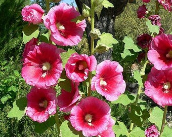 25 BRIGHT PINK HOLLYHOCK Alcea Rosea Flower Seeds Perennial *Combined S/H