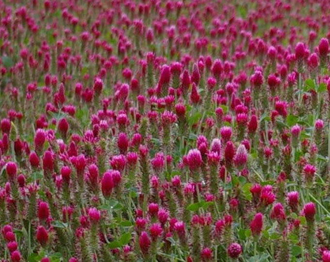 3000 CRIMSON CLOVER (Carnation, French, or Italian Clover) Trifolium Incarnatum Flower Seeds