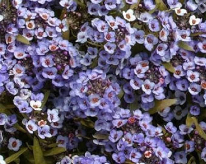100 WONDERLAND BLUE ALYSSUM Lobularia Maritima Flower Seeds