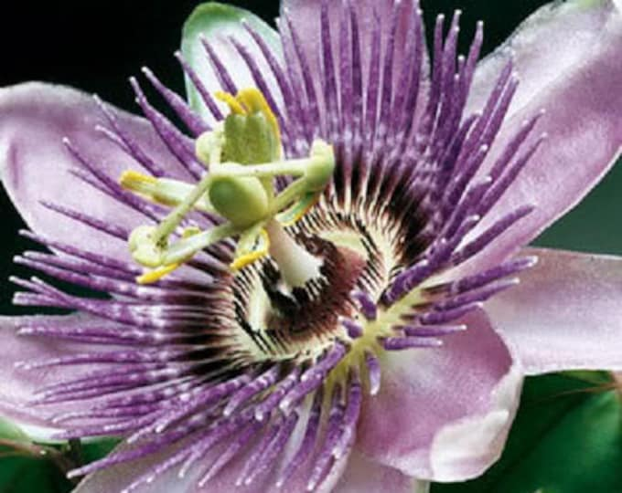 10 Purple Grandilla PASSION FLOWER Passion FRUIT Passiflora Incarnata Fruit Flower Vine Seeds