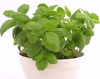 2000 SWEET GENOVESE BASIL Ocimum Basilicum Herb Flower Seeds