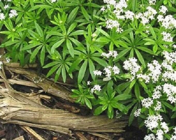20 SWEET WOODRUFF ASPERULA Galium Odoratum Shade White Flower Seeds