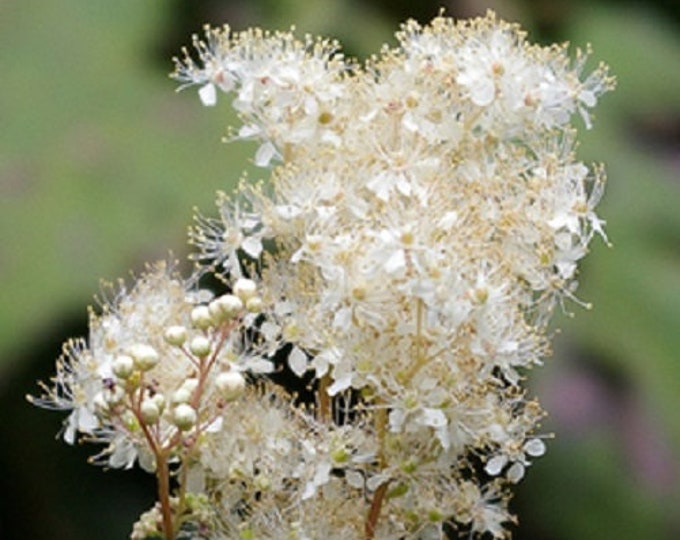 20 White MEADOWSWEET Filipendula Queen of Meadow Native Prairie Fragrant Flower Seeds