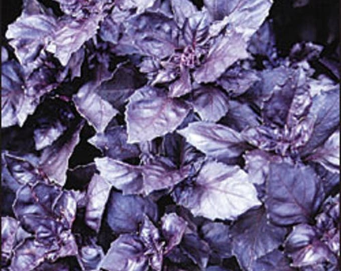 500 DARK OPAL BASIL (Purple Ruffles) Ocimum Basilicum Herb Flower Seeds