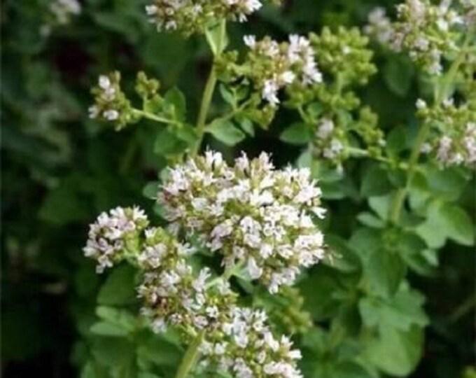 500 OREGANO Origanium Vulgare Herb Flower Seeds