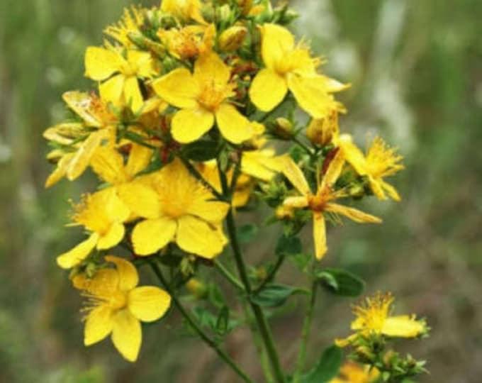 1500 Great SAINT JOHNS WORT St John's Hypericum Pyramidatum Yellow Flower Seeds *Flat Shipping