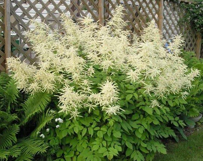 50 WHITE GOATS BEARD (like Astilbe) Aruncus Dioicus Flower Seeds