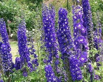 500 PURPLE ROCKET LARKSPUR Delphinium Ajacis Consolida Flower Seeds