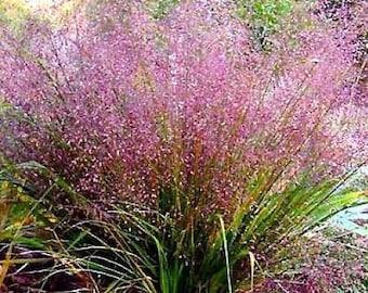 100 PURPLE LOVEGRASS Eragrostis Spectabilis Native Love Grass Flower Seeds