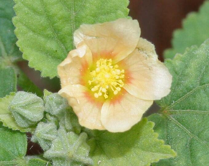 100 COUNTRY MALLOW (Bala / Flannel Weed) Sida Cordifolia Flower Seeds