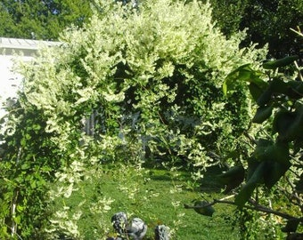 20 SILVER LACE VINE Polygonum Aubertii Silverlace White Flower Seeds
