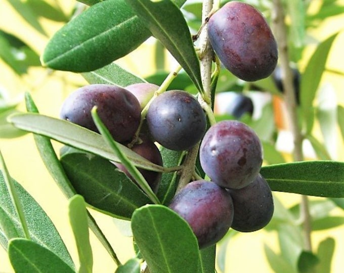 10 CANINO OLIVE TREE Olea Europaea Canino Edible European Common Green Black Fruit Seed