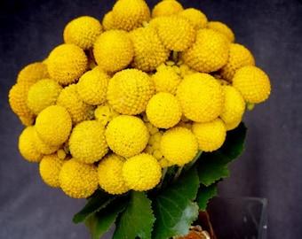 20 Yellow BILLY BUTTONS / WOLLYHEADS Craspedia Globosa Flower Seeds