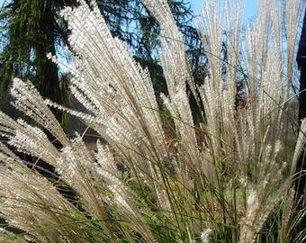10 SILVER MAIDEN GRASS Miscanthus Sinensis Perennial Flower Seeds *Comb S/H